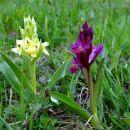 kukavice (orhideje)-bezgova prstasta kukavica
