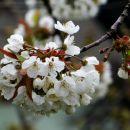 težko se je upret cvetoči pomladi vsenaokraog...
