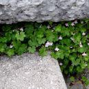 drobna lepota v kamnu (stopnišče pred cerkvijo)