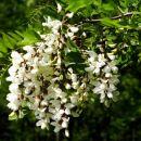 dišeča cvetoča akacija