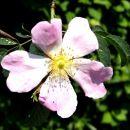 divja vrtnica