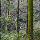 razdejanje v gozdu, posledica žledoloma