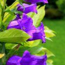 lepa zvončnica na vrtu v raki