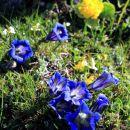 na belski planini pa na kolena v občudovanju rumeno-modrega rajskega vrta...