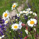 bogato cvetoči travniki