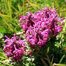 travniki so vijolični od vretenčastega ušivca