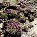 ... malo više pa vijolične planjave wulfenovega jegliča...