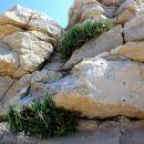 rastejo iz kamna