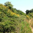 steza v rumenem grmičevju