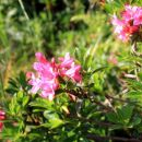 rododendron že cveti