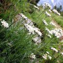 cvetoči planinski pelin