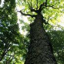 mogočno drevo