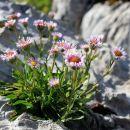 v skalah se skriva vse polno gorskega cvetja