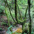 zanimivo drevo nad potokom