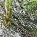 drevo, ki raste iz skale, pod skalco