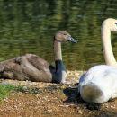 mladič laboda, ki je še siv, ko odraste dobi belo perje