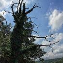 obraščeno drevo ob poti