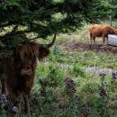 ni medved ... škotsko višavsko govedo