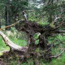 korenine izruvanega drevesa
