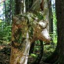 zanimiva rast mladega drevesa v rajhenavskem pragozdu
