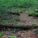podrto drevje v pragozdu...