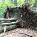 podrto in obžagano drevje