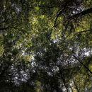 spet v gozdu, pogled v krošnje