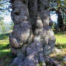 trojno deblo z baročnimi oblinami
