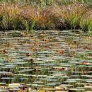 srednji ribnik je prekrit z rastlinjem