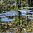 en samcat cvet belega lokvanja na srednjem ribniku