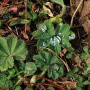 kapljice na listih plahtice