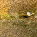 siva pastirica v potoku pri izletniškem domu