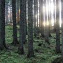 žarki jutranjega sonca v pokljuških gozdovih