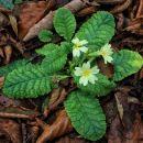 je pa toliko več zanimivega pri tleh, napr. tale pomladna cvetlica?!