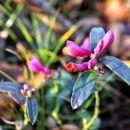 petelinček (domače ime za to rožco)