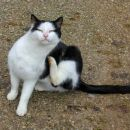 maček na inlaufu nad borovcem
