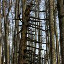 gozdni glavnik