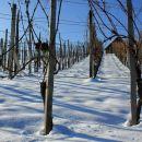 vinograd pozimi