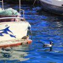prvič na morju vidim raco mlakarico (samec in samička)