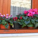 tu že imajo cvetje na oknih