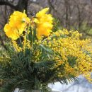 narcise in mimoze