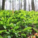 tla so na gosto prekrita z zeleno, dišečo preprogo...
