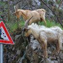 pazi, kozli skačejo!
