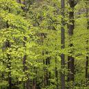 pomladno zelen gozd