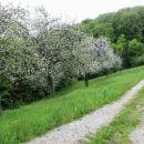 pot med cvetočimi sadovnjaki...