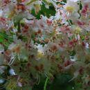 cvetoči kostanj