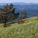 travniki narcis