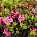 dlakavi sleč (rododendron)