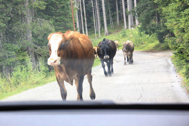 Vožnja v dolino zopet v družbi kravje črede...