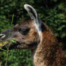 imajo tudi mini živalski vrt: tole je lama